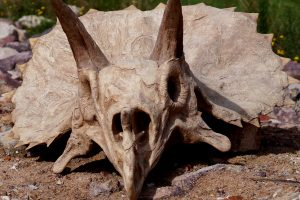fac simile de crane de dinosaure fossile triceratops