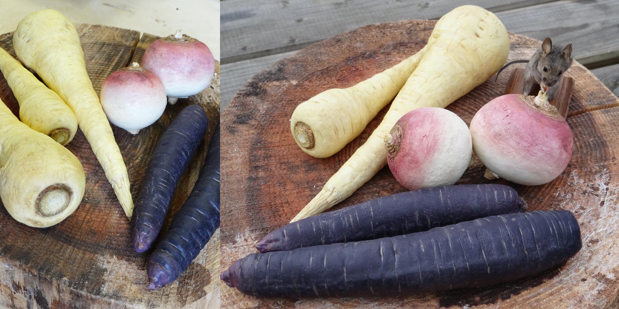 Légumes oubliés factices ; factices alimentaire de panais, carottes violettes et navets