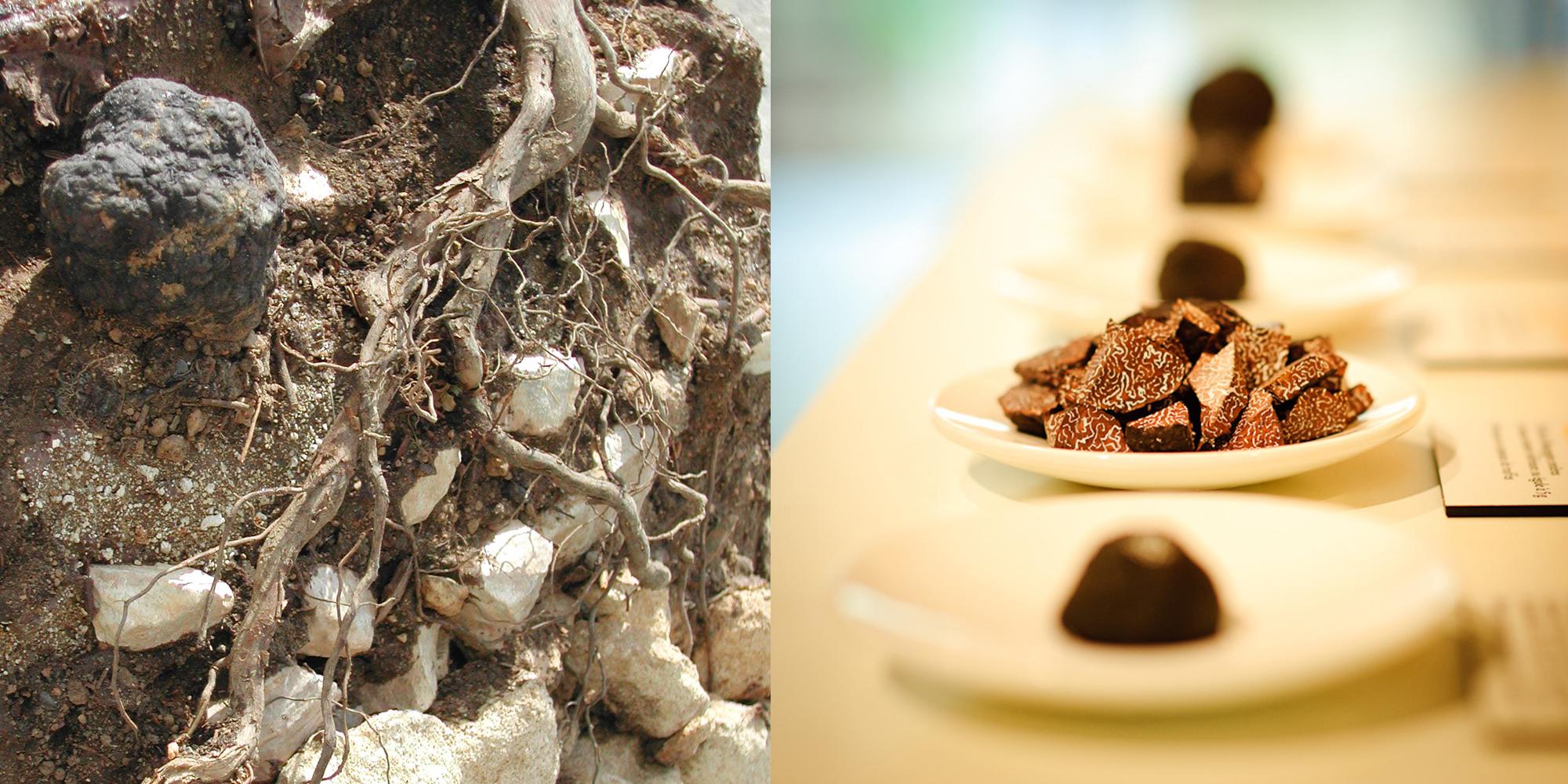 truffe factice et fac simile de coupe de terre comme une etude des sols